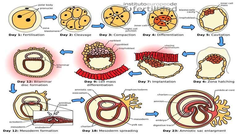 transfer-embriones-timing-para-la-transferencia-de-embriones.jpg