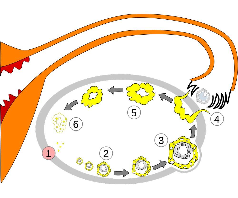 instituto-europeo-de-fertilidad-cambios-en-ovario.jpg