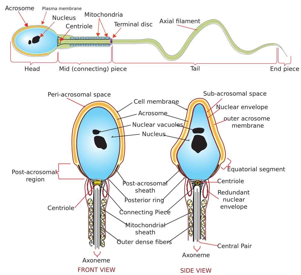 instituto-europeo-de-fertilidad-fiv-ivf-morfologia-espermatozoide.jpg